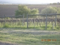 Pinot Noirs in spring